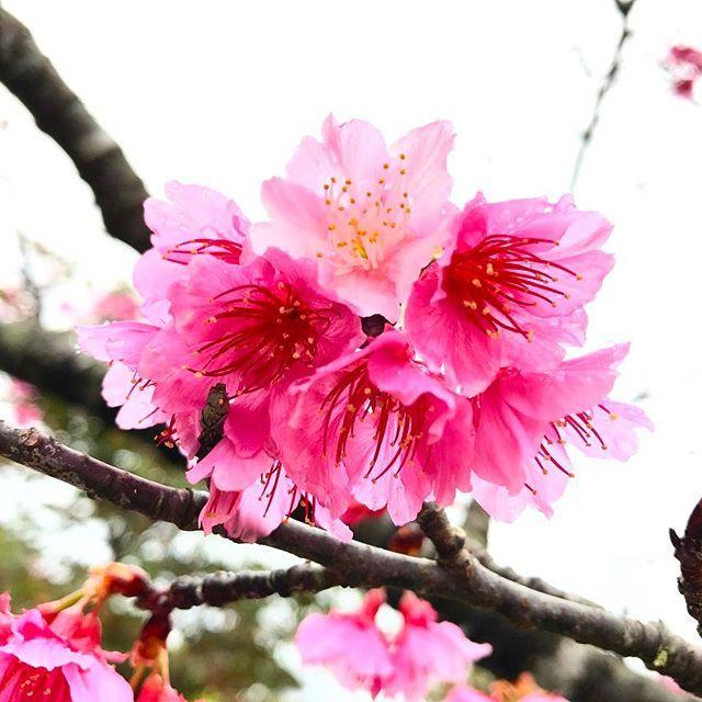 【naho_islandlife】さんのInstagramをピンしています。 《名護のさくら祭り🌸沖縄の桜は濃いピンクで好き! 雨が降ったり止んだりでまだ5分咲き? #エイサー とか見て、知らないおじさんにみかんもらって、 #宮里そば 食べたばっかりなのに大きいアメリカンドッグ買ってもぐもぐ。 #okinawa #桜 #プチ花見 #名護 #おでかけ #ドライブ #沖縄 #islandlife #fun #pink #life #instagood #sunday》