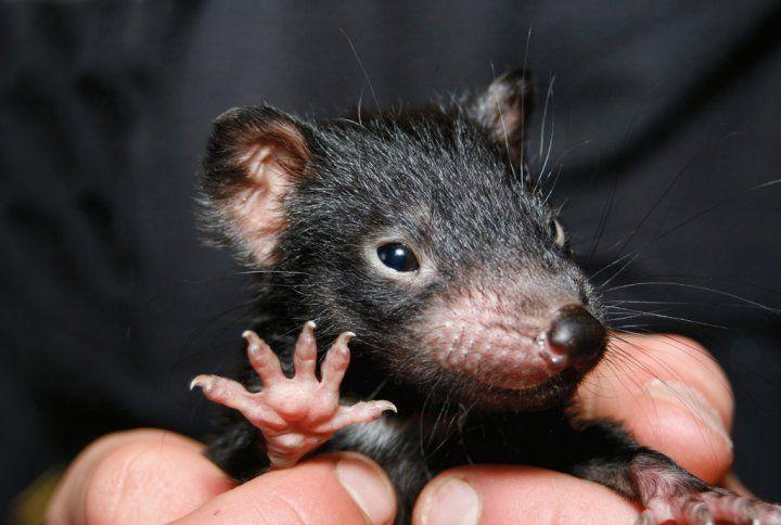 'Hi-5 Devil' - baby Tasmanian Devil by Mike Calder