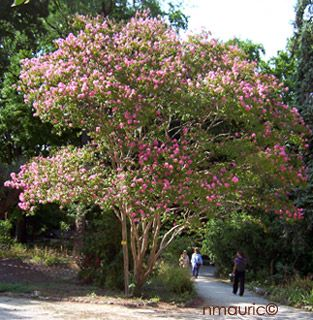 Best 25 lagerstroemia ideas on pinterest flowering trees crepe myrtle trees and prune ideas - Arbre lilas des indes ...