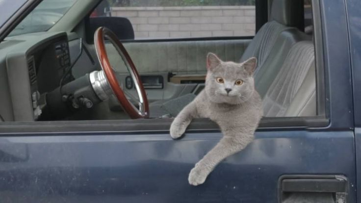 Cats Driving Cars Videos