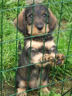 I love wire haired dachshund. This one is really cute