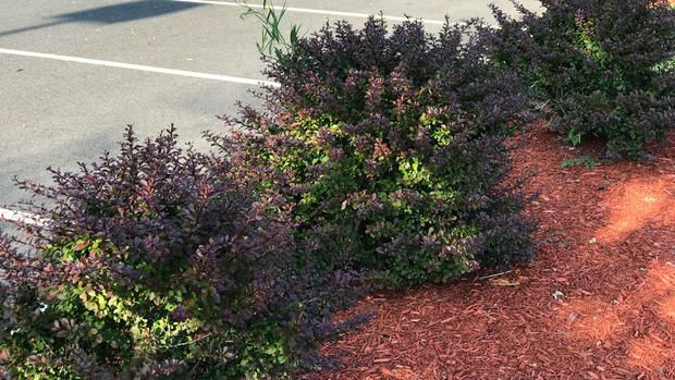 Japanese barberry-A state scientist says a popular shrub sold at some nurseries and big box stories across Connecticut is being blamed for a rise in the tick population, which is causing an increase in Lyme disease cases in... #LandscapeShrubs