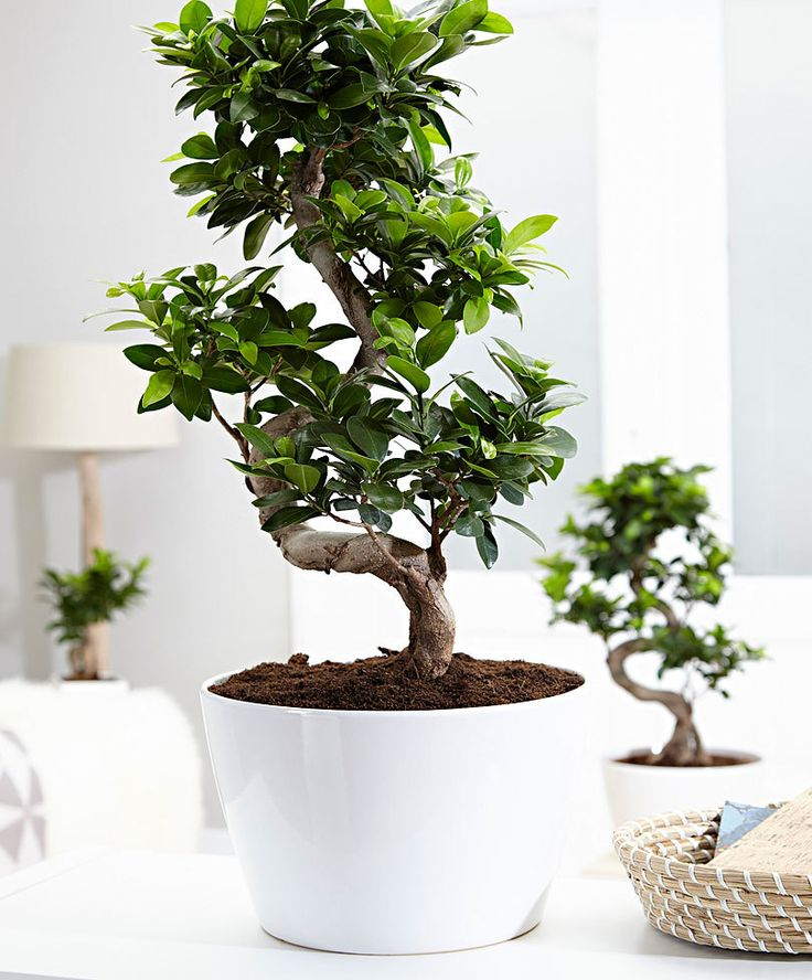 best 25 bonsai ficus ideas on pinterest bonsai bonsai. Black Bedroom Furniture Sets. Home Design Ideas