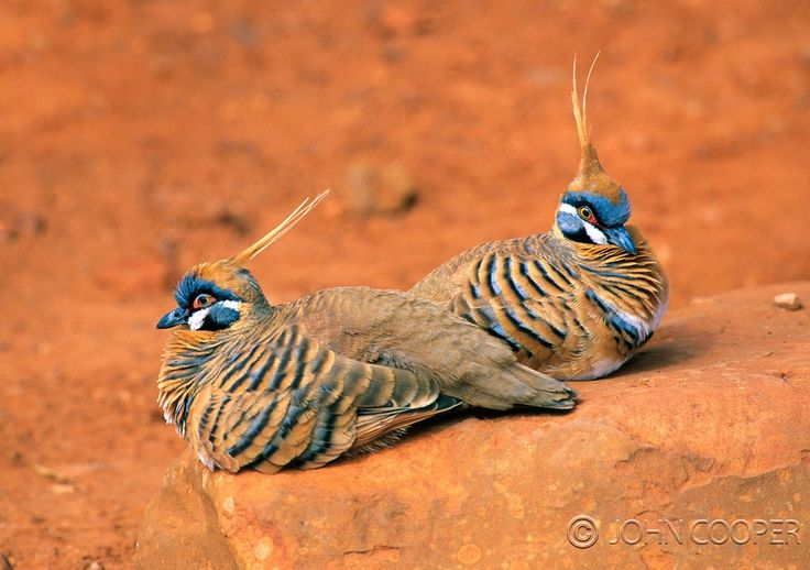 ) Spinnifex pigeons