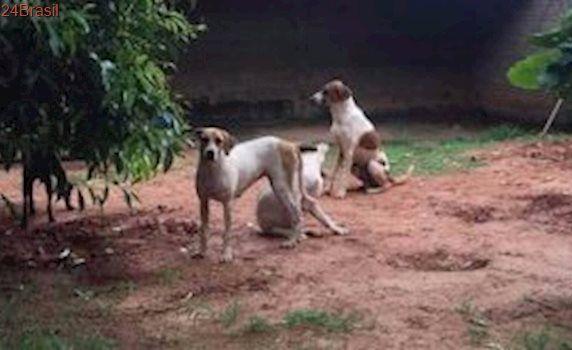 Cães de raças exploradas para caça são sequestrados de abrigo no Paraná
