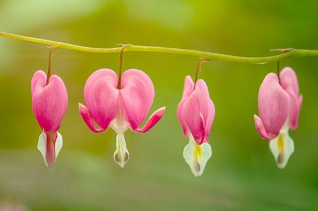 Flor Coração sangrando (Lamprocapnos spectabilis). Foto: Sharon K. Collins.