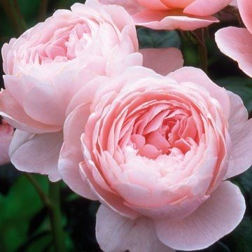 David Austin Hedging Rose 'Queen of Sweden'