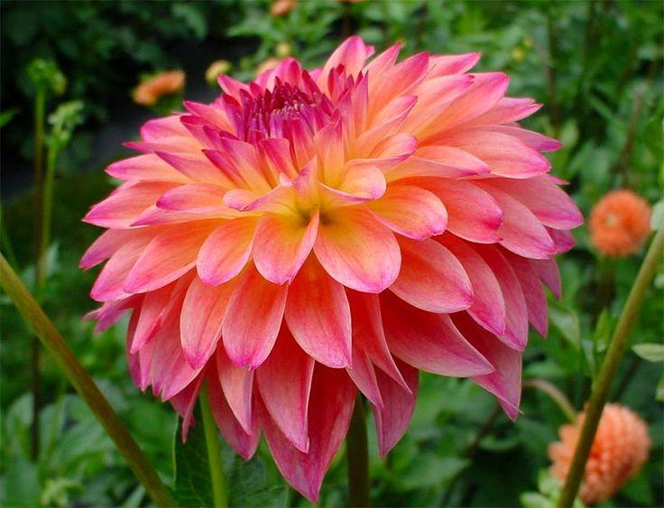 7 best bunga dahlia images on pinterest | flowers, beautiful