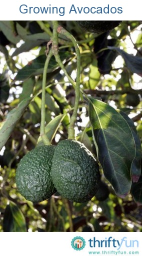 This is a guide about caring for an avocado tree. Avocado trees whether grown from seed or purchased from a nursery will need to proper care to thrive.