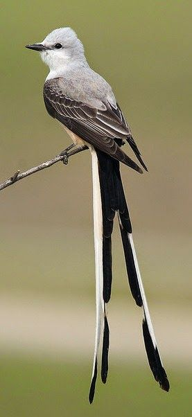 The Scissor-tailed Flycatcher, Tyrannus forficatus, aka the Texas bird-of-paradise
