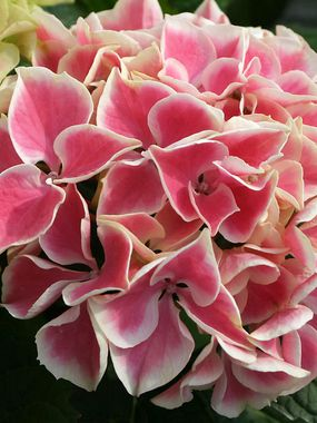 Hydrangea 'Edgy Hearts' - Heart shaped petals edged in white on this medium sized bush. Height 2-4'. Zones 5-9