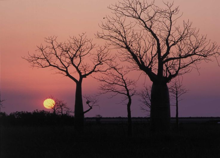 Boabs at Sunset - such eerie majesty!