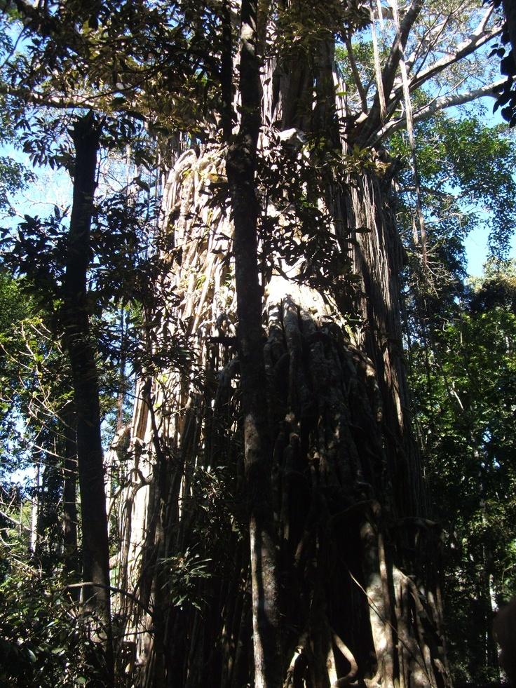 Giant Fig Tree in Yungaburra QLD