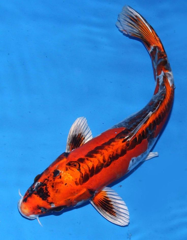 417 best images about koi fish on pinterest zippers for Orange coy fish