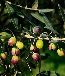 Arbequina Olive Tree Fast Growing Olive Tree & Best Tasting Enjoy fresh, healthy olives, as soon as the very first year! Arbequinas are popular because of their flavor, but they also have one of the highest concentrations of healthy, antioxidant-rich oils. And even a small tree can produce 20 lbs. of olives each year. Plenty for healthy salads, recipes and incredible home-made olive oil. 4-5 ft, $60