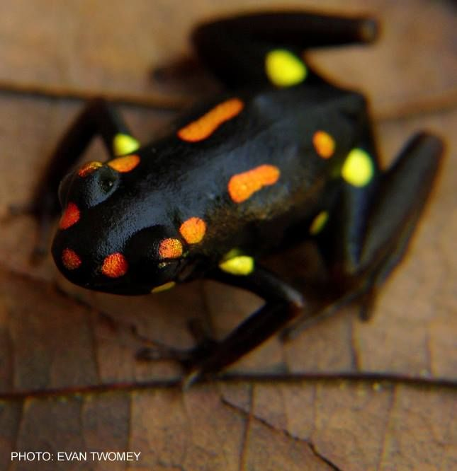 Excidobates captivus, the Santiago poison frog or Rio Santiago poison frog, is a…