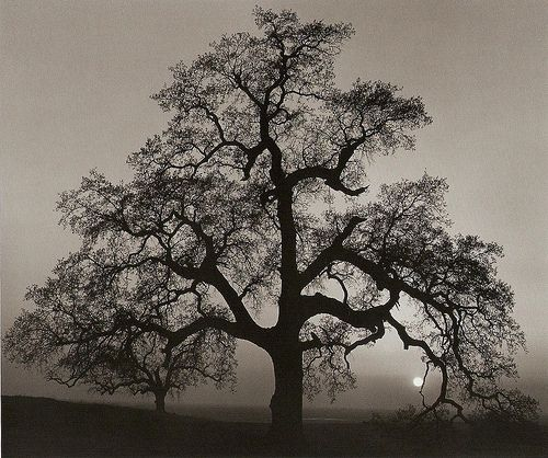 Ansel Adams Oak
