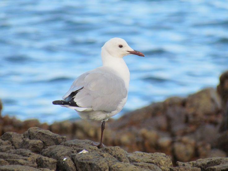 Gull with one leg, Dangerpoint