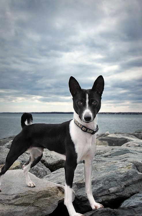 """Want to run with me!"" #dogs #pets #Basenjis Facebook.com/sodoggonefunny Looks like my Ozzie"
