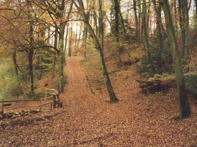The stately beeches of Cranham Woods