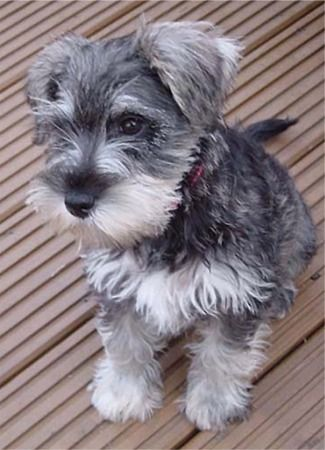 I want a schnauzer so bad, but I'd keep him scruffy and cute like this fella, not clipped with a weird moustache.