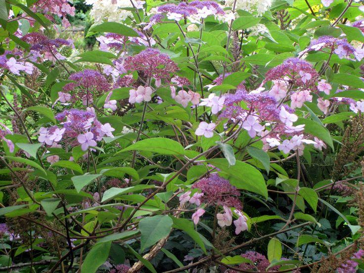 25 best ideas about hydrangea aspera on pinterest white gardens annabelle hydrangea and. Black Bedroom Furniture Sets. Home Design Ideas