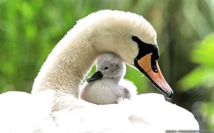 Baby Swan Spring Animals Wallpapers Spring Pinterest