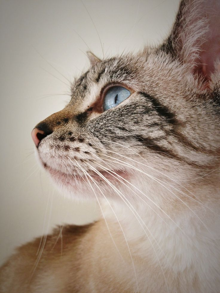 Lynx point siamese 114 pinterest for Siamese 9 electric motor