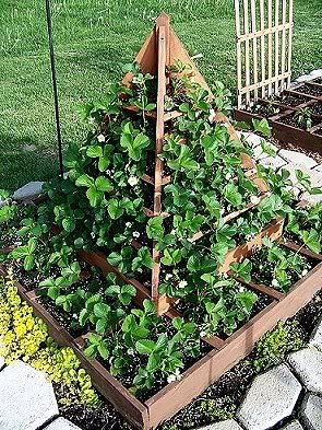 strawberry tree - I must show this to Roman at our plots, he loves his strawberries and his pyramid gardening!