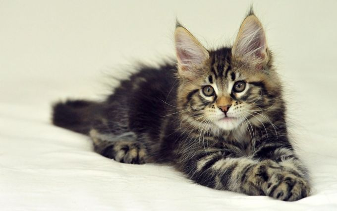 22 Best Beautiful Maine Coon Cat Photography Images On Pinterest