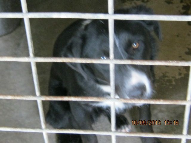 Gallery of council pounds and their impounded animals - Rescue Rex IMP 791 Collie x Male, Date of release 18/9