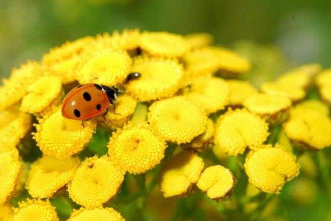 Gelber Rainfarn mit einem kleinen roten Marienkäfer