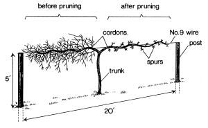 grapevine+support+designs | Unpruned (left) and pruned (right) cordons of a mature muscadine grape ...