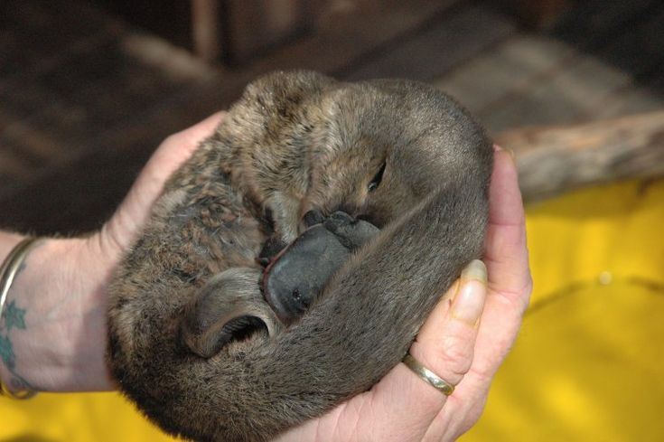 platypus, Dave Watts, Steve Irwin, Australia Zoo