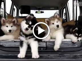 Amazing Siberian Husky: Things You Should Know About A Siberian Husky Temperament