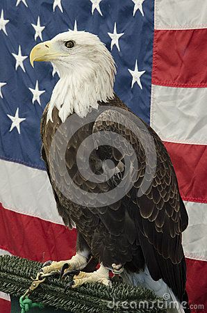 The bald eagle, national symbol of the United States, is the only eagle unique to North America.