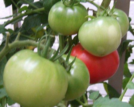 トマト地植え栽培
