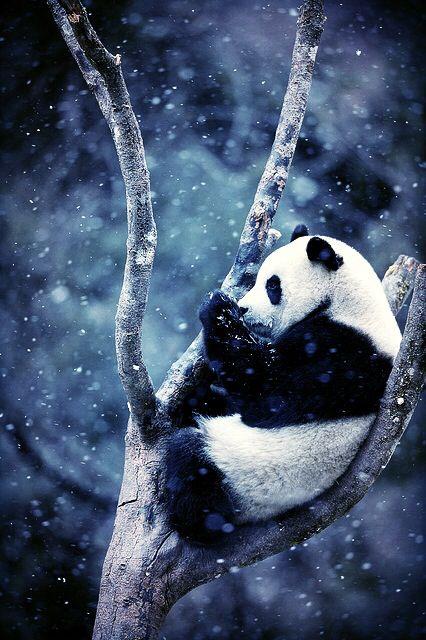 Panda in snow. Wild Panda?  More on Pics on Facebook - Panda Life https://www.facebook.com/Panda-Life-894187597359826/