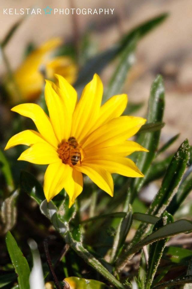 Yellow flowers at Patonga NSW