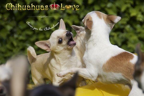Chihuahuas Love - ¿Es Verdad Que Los Chihuahuas Roncan? Raza Chihuahua.