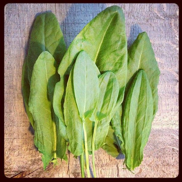 sorrel-leaves for rennet