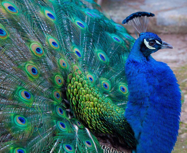 Blue Peacock | Flickr