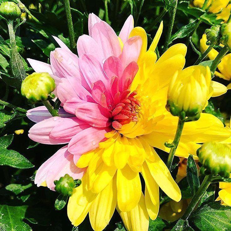 Sind Chrysanthemen Winterhart