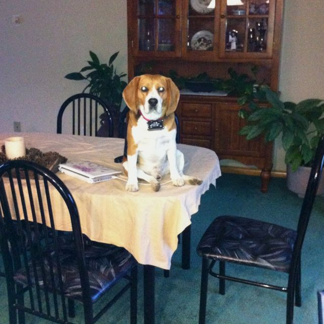 Beagles......a whole lot of trouble wrapped up in cute :) my beagles favourite place to sit.....the table!