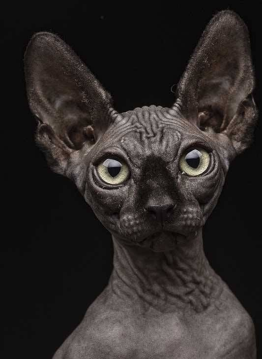 Unusual Cat Breeds or different kinds of cats. There so many different adjectives are used for describing these creatures, but some cats look very weird.