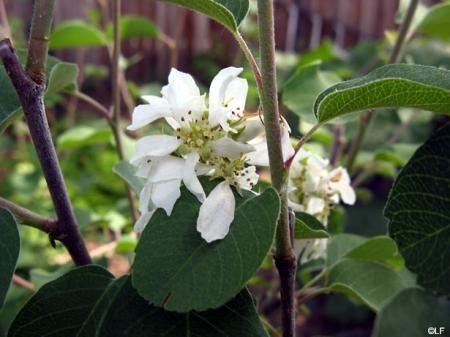 Amelanchier alnifolia | California Flora Nursery