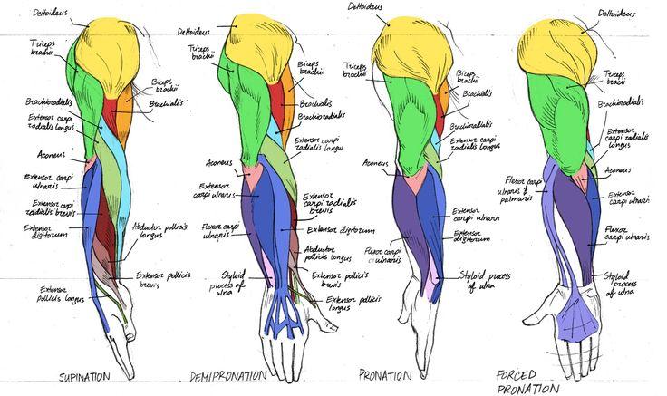 Anatomy Of Human Arm Anatomy Of The Human Arm | Humananatomybody