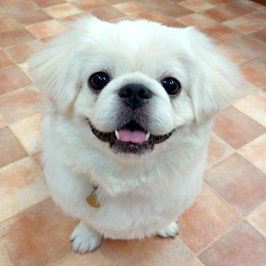 白や黒のペキニーズってどんな犬?性格・特徴から分かるしつけと飼い方! | mofmo