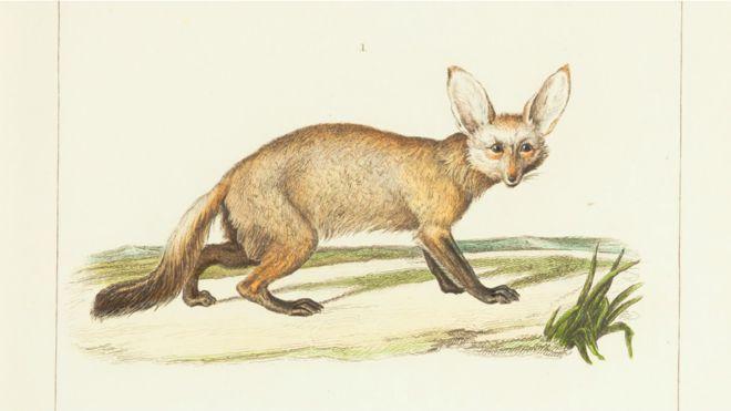 Perro de orejas grandes,  (Biodiversity Heritage Library)