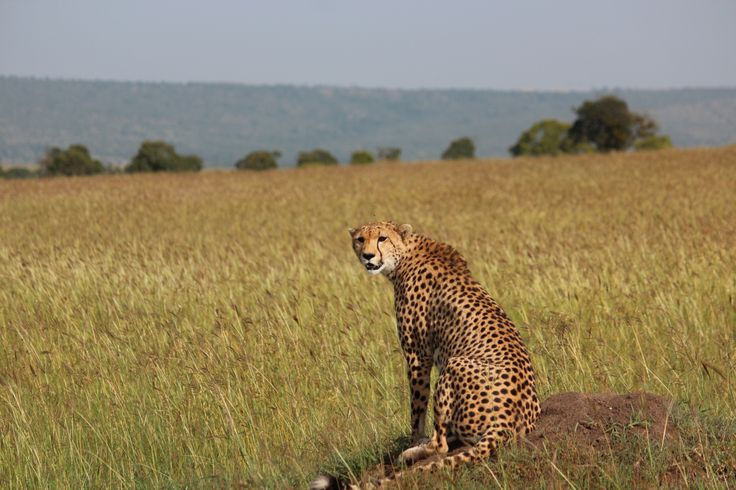 Taken in the Masai Mara a pregnant female cheetah sits on a mound keeping an eye out for prey.